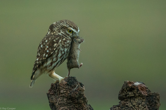 Little Owl, Big Mouse!