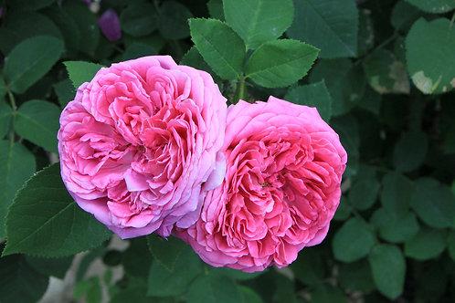 Eau Micellaire purifiante à l'eau de rose de Damas