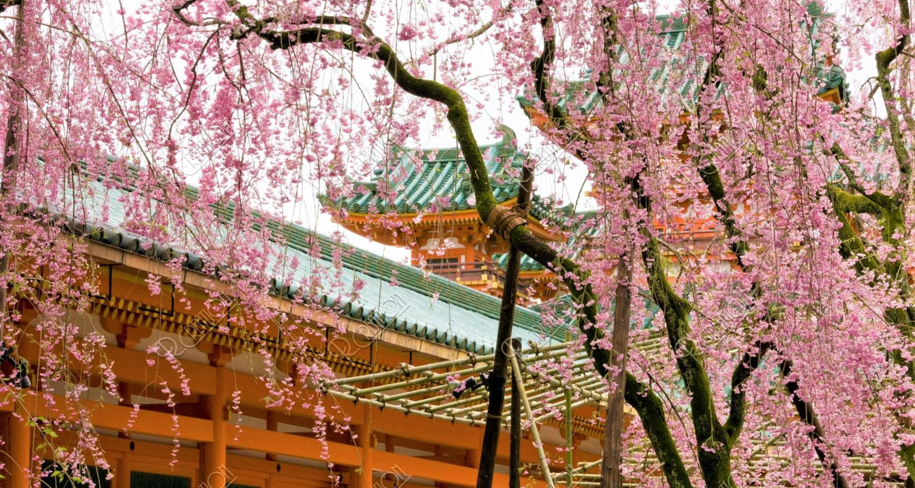 Amazing Cherry Blossom at Heian Shrine.j