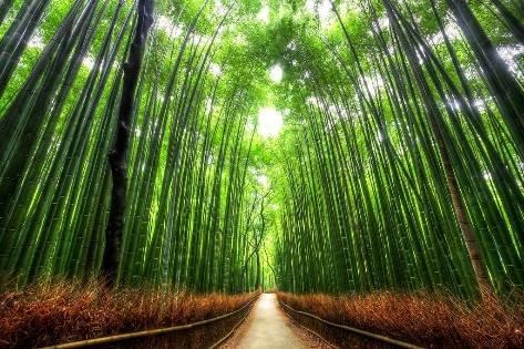 Sagano Bamboo forest.jpg