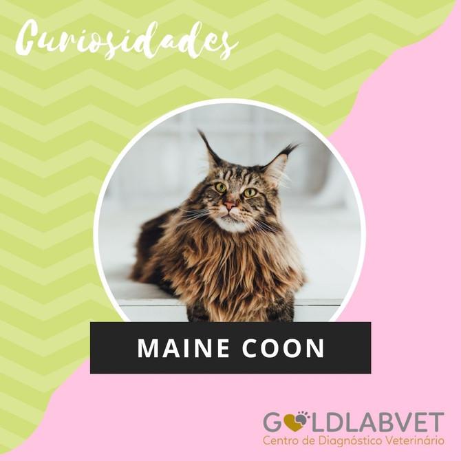 Curiosidade Maine Coon