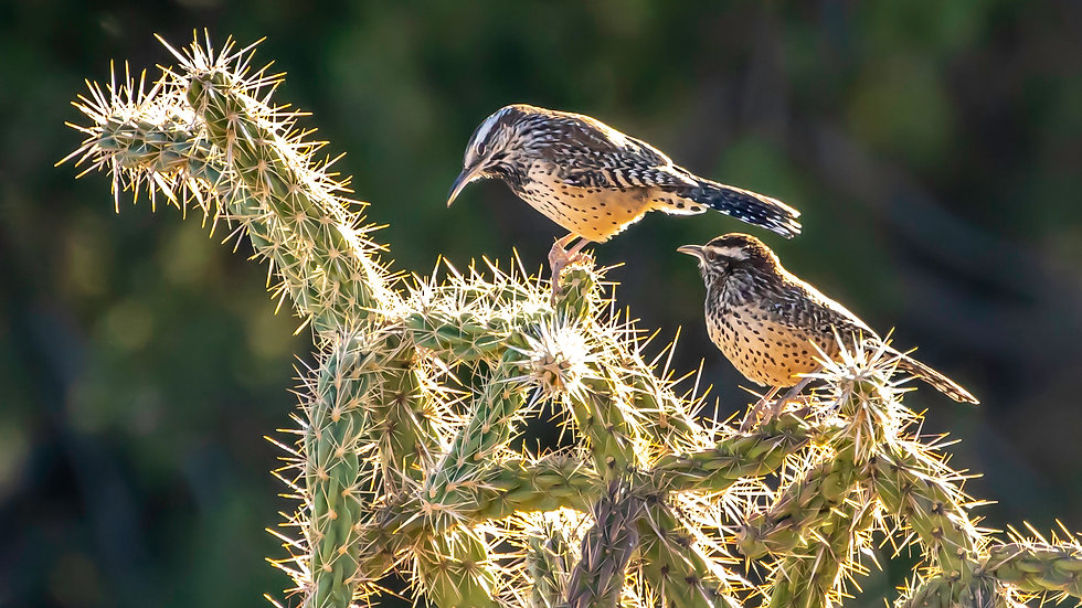 COMMENSALISM: THE CACTUS AND THE WREN