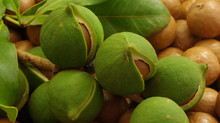 MACADAMIAS - DELICIOUS AND NUTRITIOUS