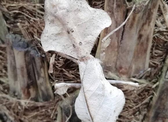 Deroplatys lobata - Dead leaf Mantis