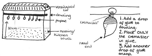 Pupae cage diagram.png