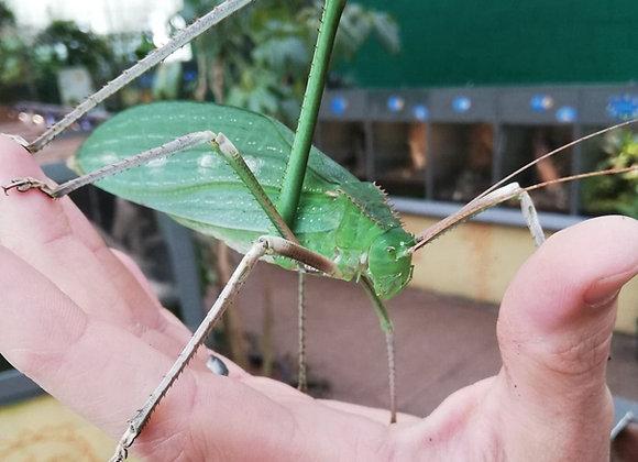 Arachnachris corporalis
