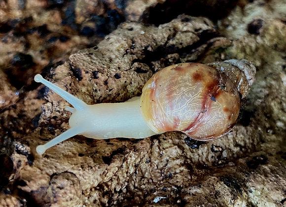 Achatina fulicia x 1