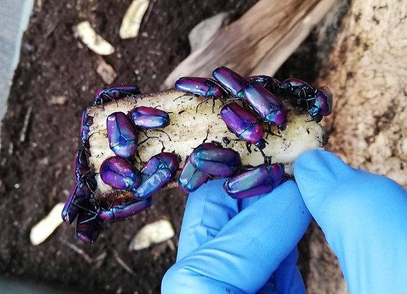 Chloracala africana oertzeni - Purple jewel beetle - Adult Pair