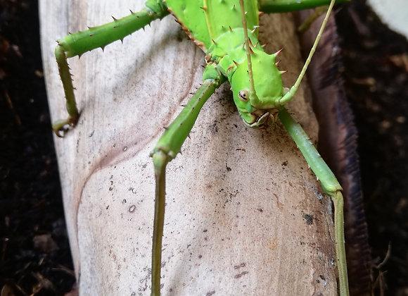 Heteropteryx dilitata Adult Pair (Green Female)