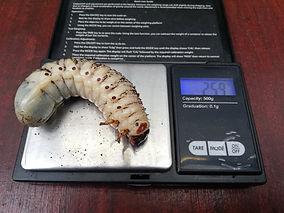 Weighing mtu grub.jpg