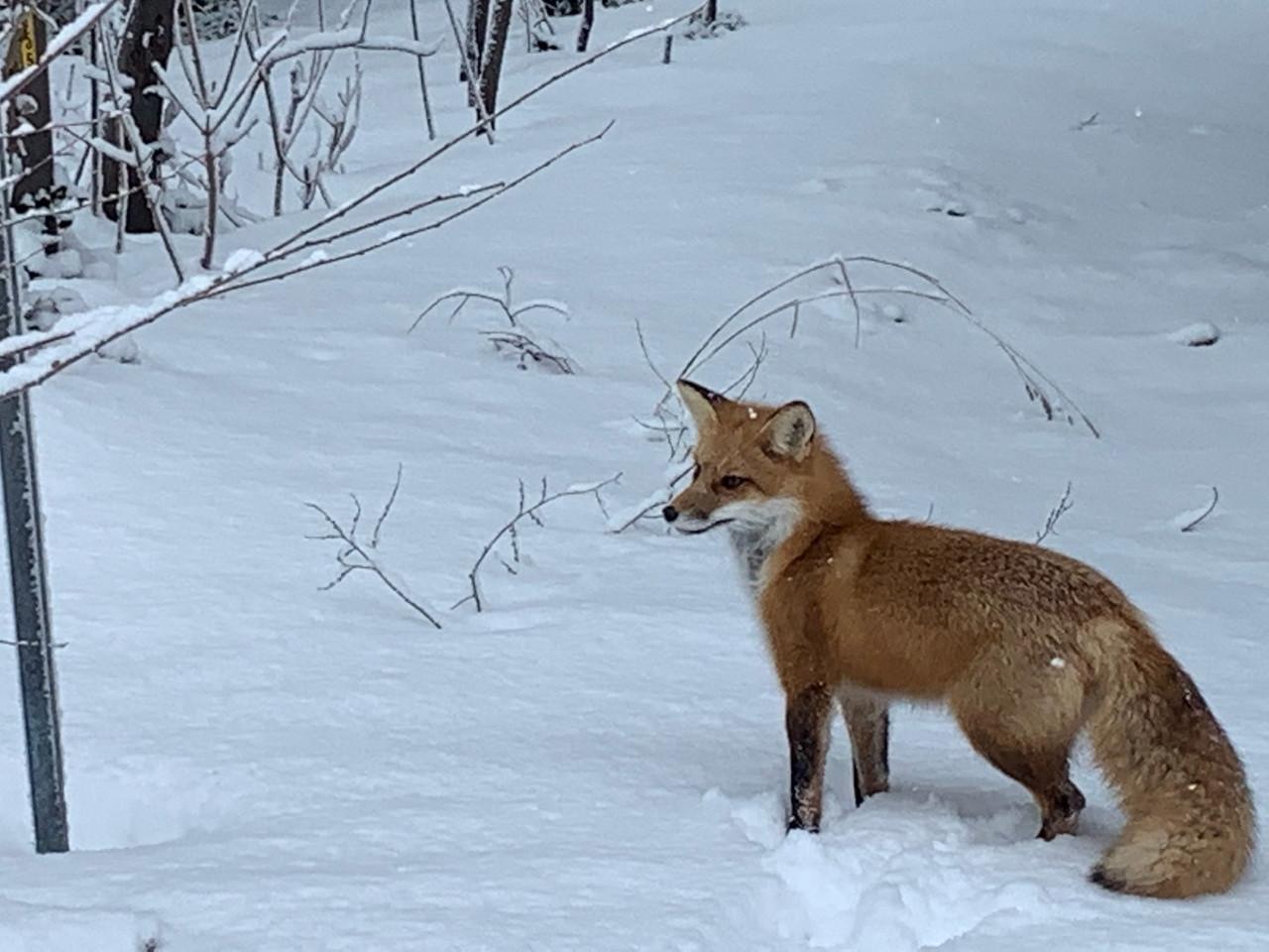 wildlifefox.JPG