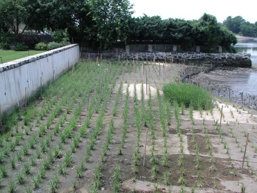 New Marsh Planting