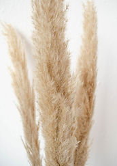 BloomsnBlossoms_Pampasgrass.jpg
