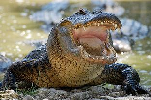 Gator.jpg