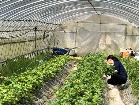 お野菜の収穫♫