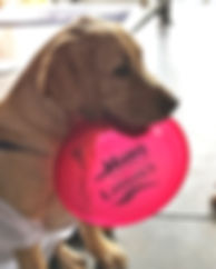 pup with GM frisbee.jpg