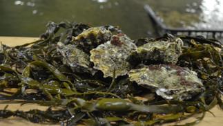 Zeeuwse Tafel-oesters