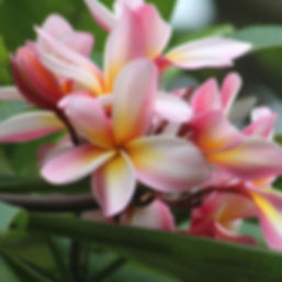 Plumeria - My FAVORITE flower!!!
