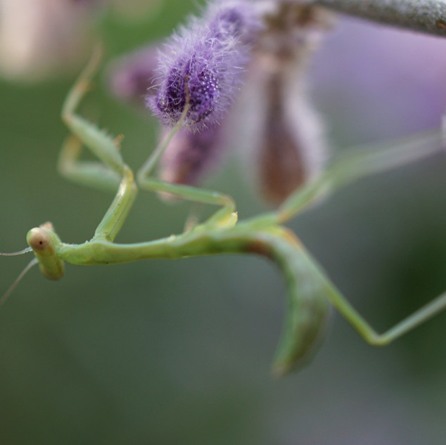 Mantis on Lavender