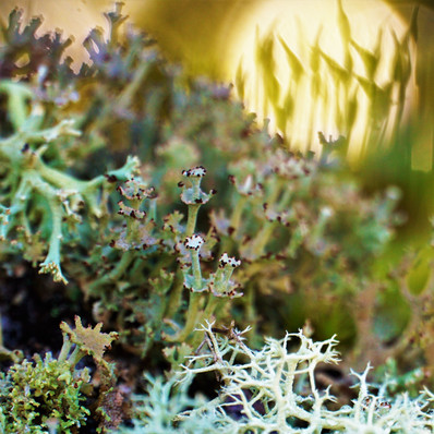 Lichens with Moss Silhouette