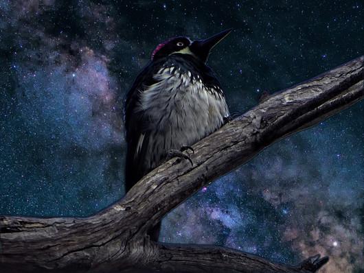 Astro Acorn Woodpecker