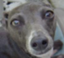 Gracie the Italian Greyhound and Diane DIke