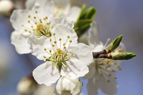 cherry-plum-fleur-de-bach.jpg