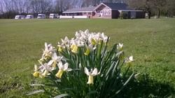 Leycett Daffodills
