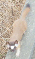 weasel2.jpg