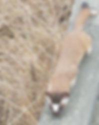 weasel3.jpg