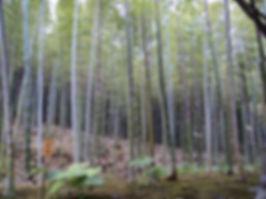 BambooForestJapan.JPG