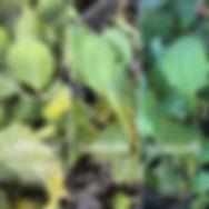 Spriong Mayday Garden broccol kolhrabi c