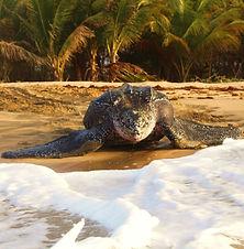 leatherback (4) (1).JPG