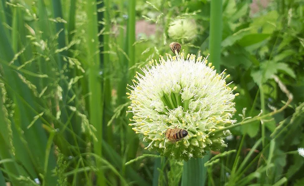 Närbild på en blommande piplök, med två bin som sitter på den vita blomman.