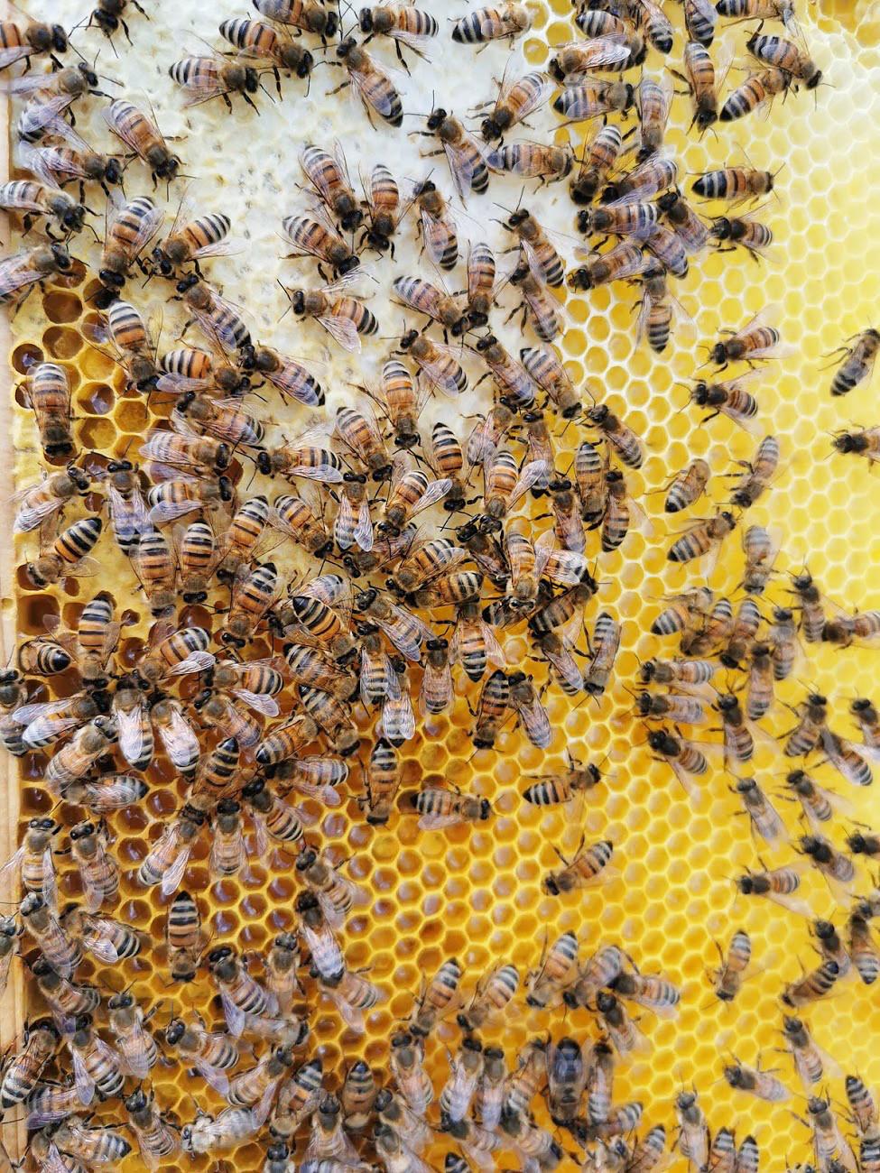 En biram med honungsbin och vax.