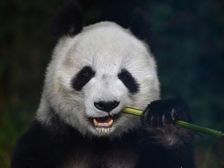 熊猫 - панда