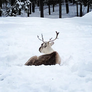 reindeers Finland Ruka Chalet Villa Kelo rental