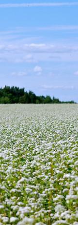 champs de sarrasin
