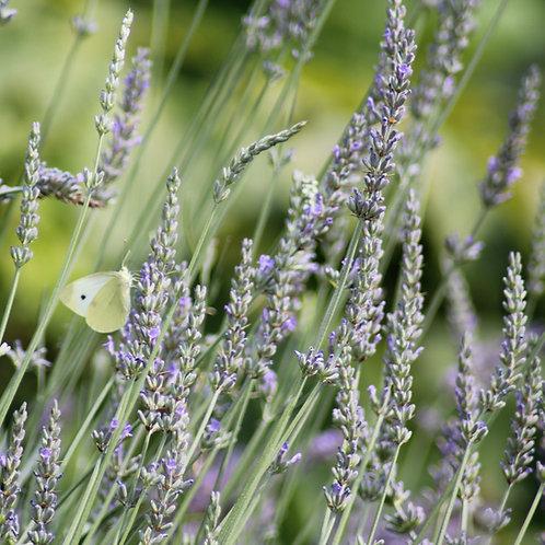 Lavandula x Intermedia 'Grosso' Lavender Plants