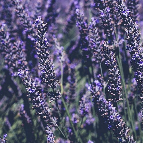 Lavandula x Intermedia 'Provence' Lavender Plants
