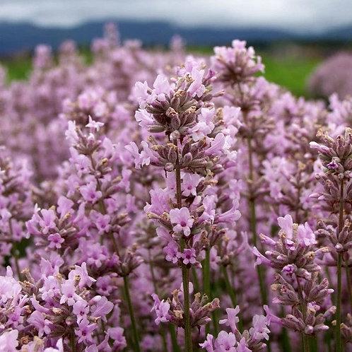 Lavandula Angustifolia 'Melissa' Lavender Plants