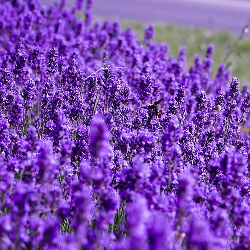Lavandula Angustifolia 'Royal Velvet' Lavender Plants