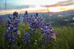 montana-outdoors-explore-wildflowers-pur