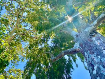 Greek eucalyptus