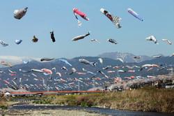 相川の鯉のぼり