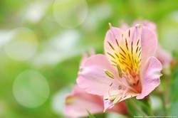 アルストロメリア (百合水仙)