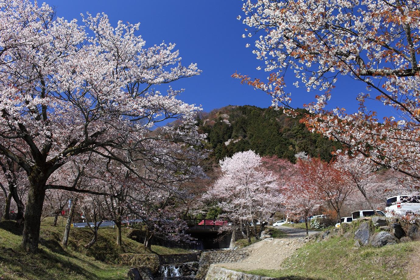 霞間ヶ渓_春の桜