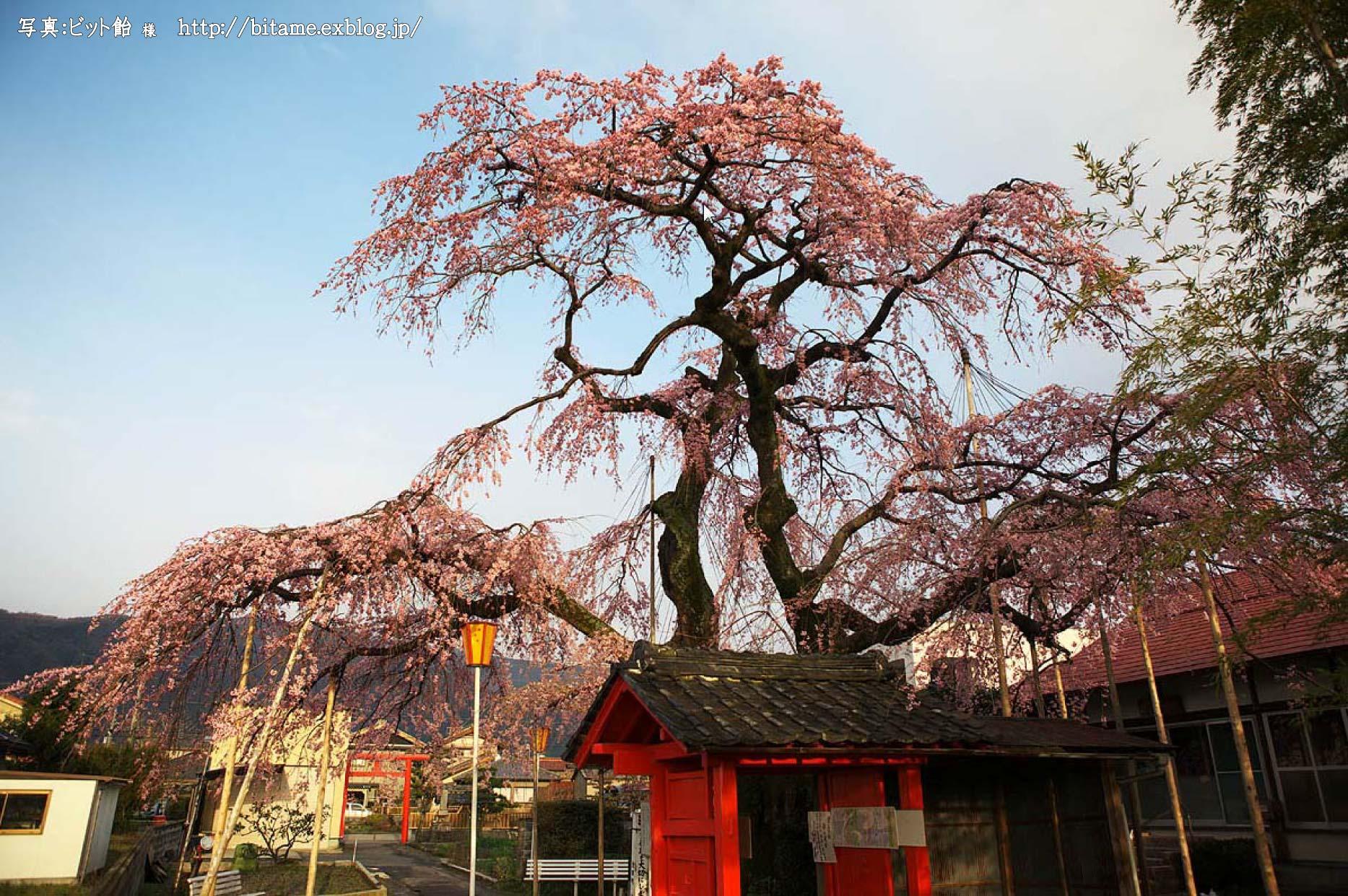 毘沙門院の雲上の桜