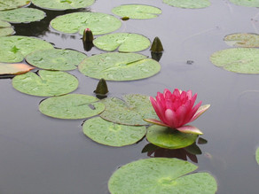 Behind The Lily Pads