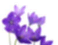Bellflower.jpg